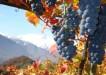 Grappolo Fumin Valle d'Aosta - Copia